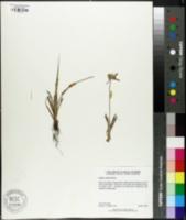 Image of Cyperus ovatus