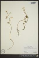 Ranunculus gmelini image