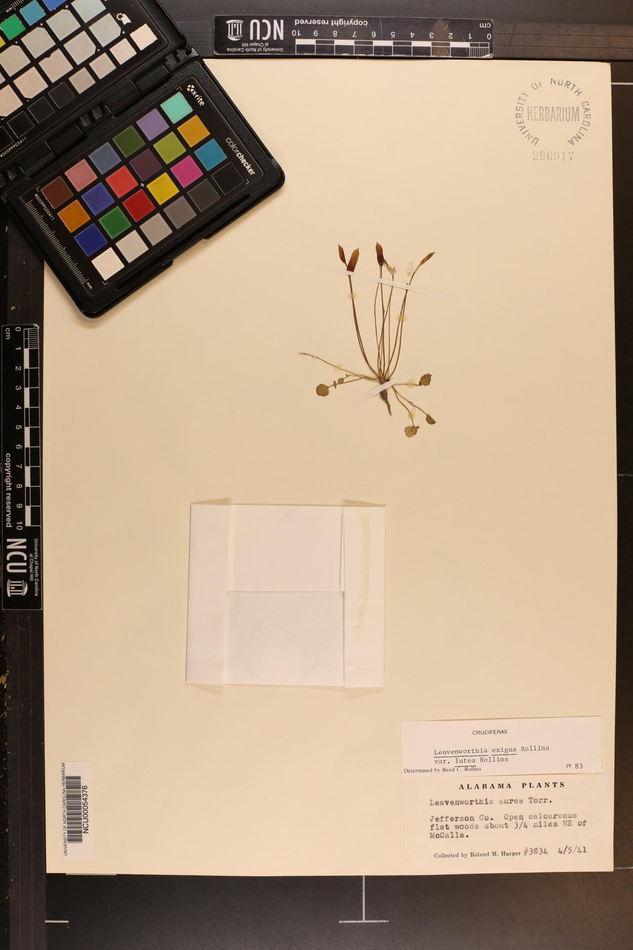 Leavenworthia exigua var. lutea image
