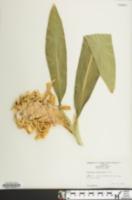 Hedychium coronarium image