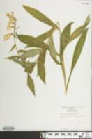 Image of Digitalis grandiflora