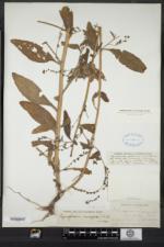 Image of Cynoglossum microglochin