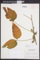 Toxicodendron radicans image