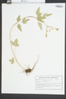 Zizia trifoliata image