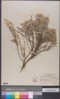 Image of Tetradymia linearis