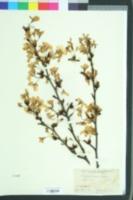 Image of Cerasus yedoensis