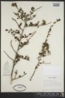 Ceanothus megacarpus image
