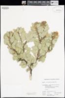 Arctostaphylos pringlei image