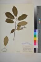 Image of Padus virginiana