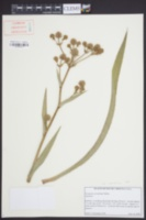 Eryngium yuccifolium var. yuccifolium image
