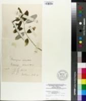 Image of Elaeagnus orientalis