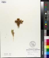Cylindropuntia acanthocarpa var. thornberi image
