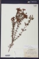 Hypericum fasciculatum image