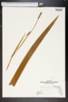 Image of Neomarica longifolia