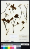 Garberia heterophylla image