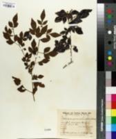 Allophylus guaraniticus image