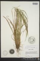 Image of Carex brysonii