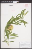 Asclepias physocarpa image