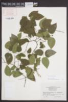 Celtis tenuifolia image