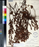 Image of Hypericum edisonianum