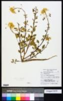 Peritoma platycarpa image