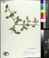 Citrus trifoliata image
