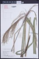 Miscanthus floridulus image
