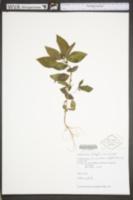 Acalypha rhomboidea image