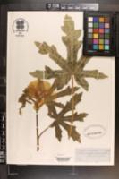 Abelmoschus manihot image