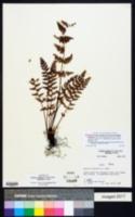 Woodsia scopulina subsp. laurentiana image