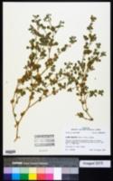 Glinus radiatus image