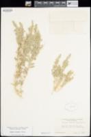Atriplex coronata var. coronata image