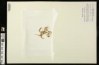 Callitriche nuttallii image