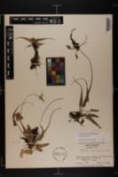 Asplenium myriophyllum image