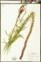 Liatris lancifolia image