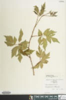 Rubus laciniatus image