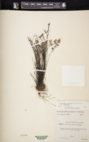 Argyrochosma limitanea image