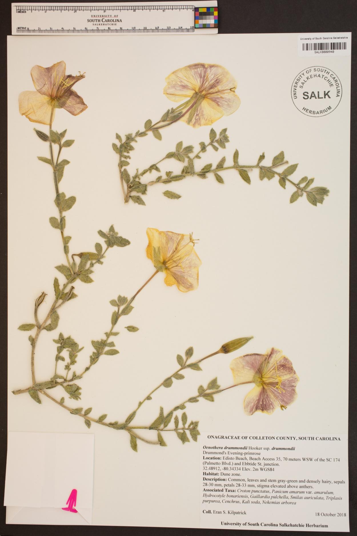 Oenothera drummondii subsp. drummondii image