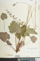 Image of Heuchera americana
