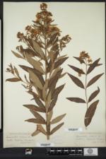 Lysimachia vulgaris image
