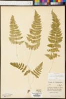 Cystopteris bulbifera image