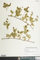 Image of Rubus scambens