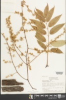 Image of Toona sinensis