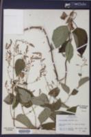 Image of Collinsonia punctata
