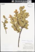 Arctostaphylos catalinae image