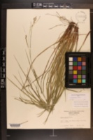 Carex debilis image