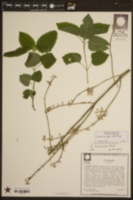 Image of Scutellaria ocmulgee