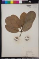 Calophyllum inophyllum image