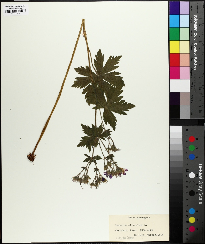 Geranium sylvaticum image