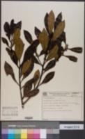 Image of Symplocos nitidiflora